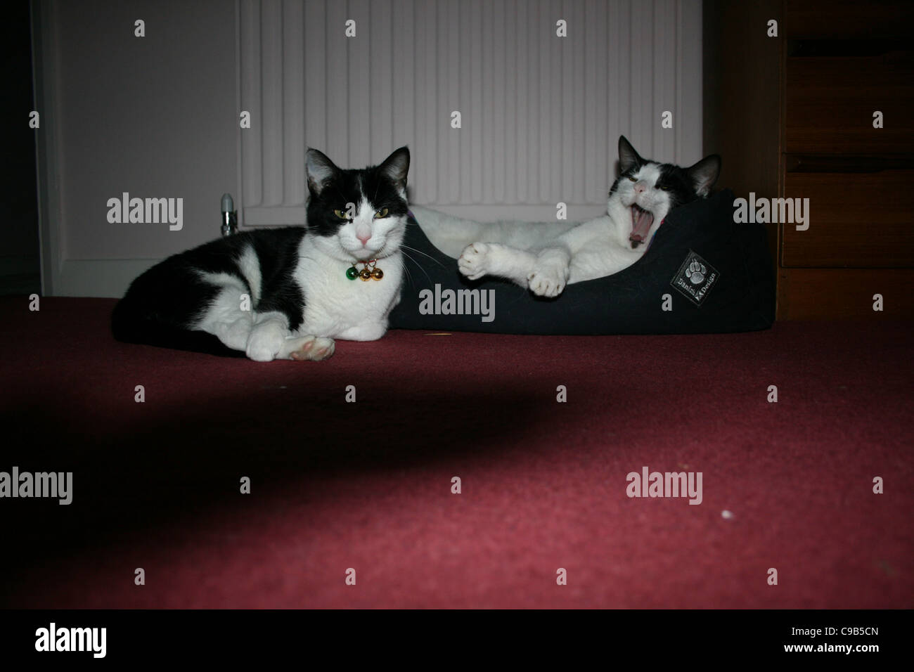 White cat with black markings on head  in basket yawning in front of radiator , black and white cat laying on red - Stock Image
