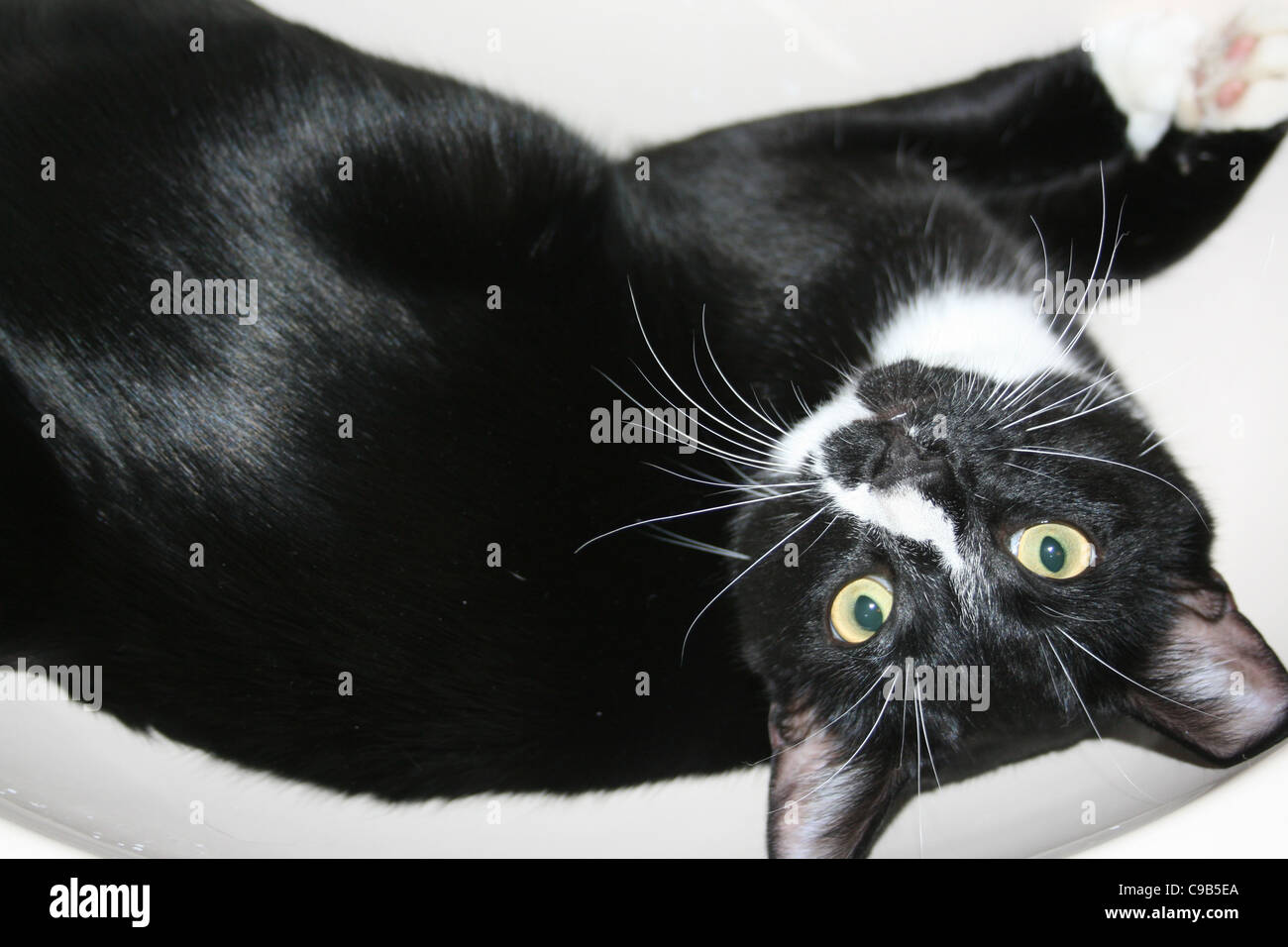 Black male cat with white face markings laying in bathroom wash hand basin looking up side down. - Stock Image