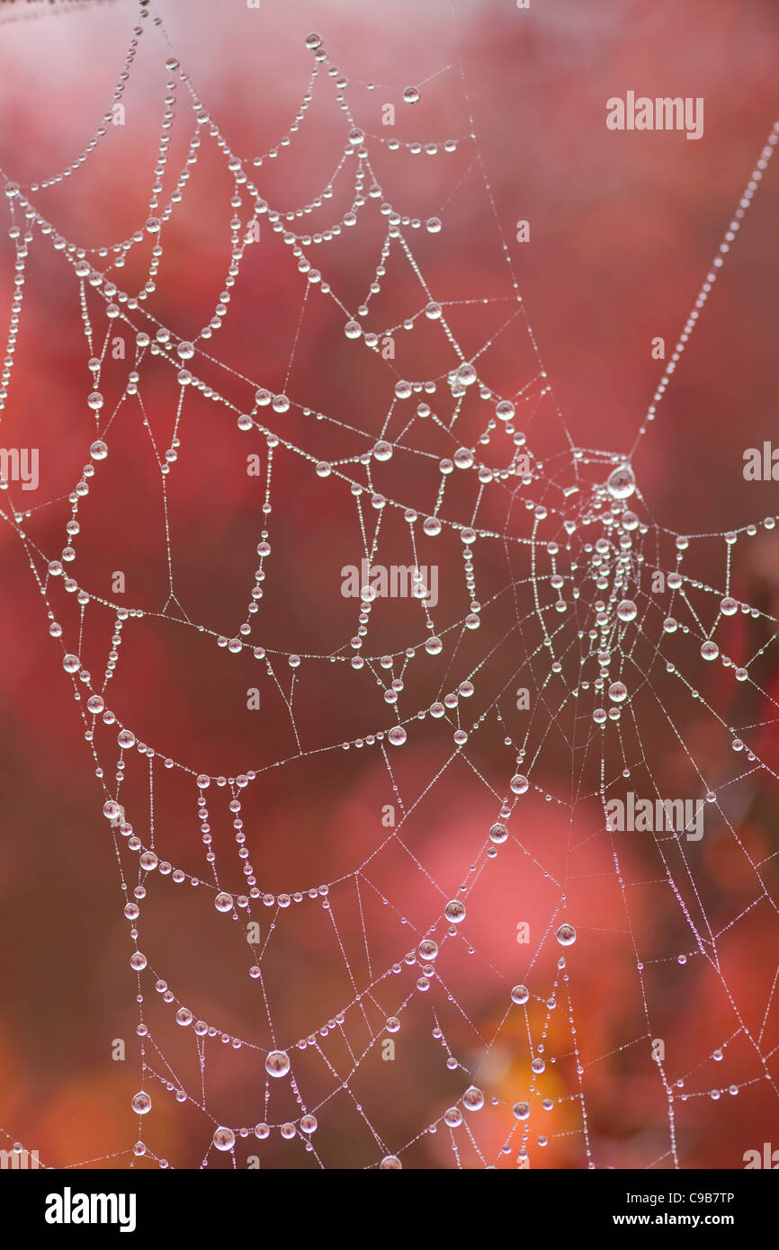 Spider web against a red foliage background with heavy saturation of dew in foggy conditions during early winter - Stock Image