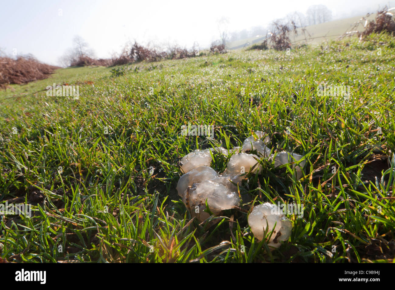 Mysterious unidentified jelly substance lying on the grass on the Cumbrian Fells, Cumbria, England - Stock Image