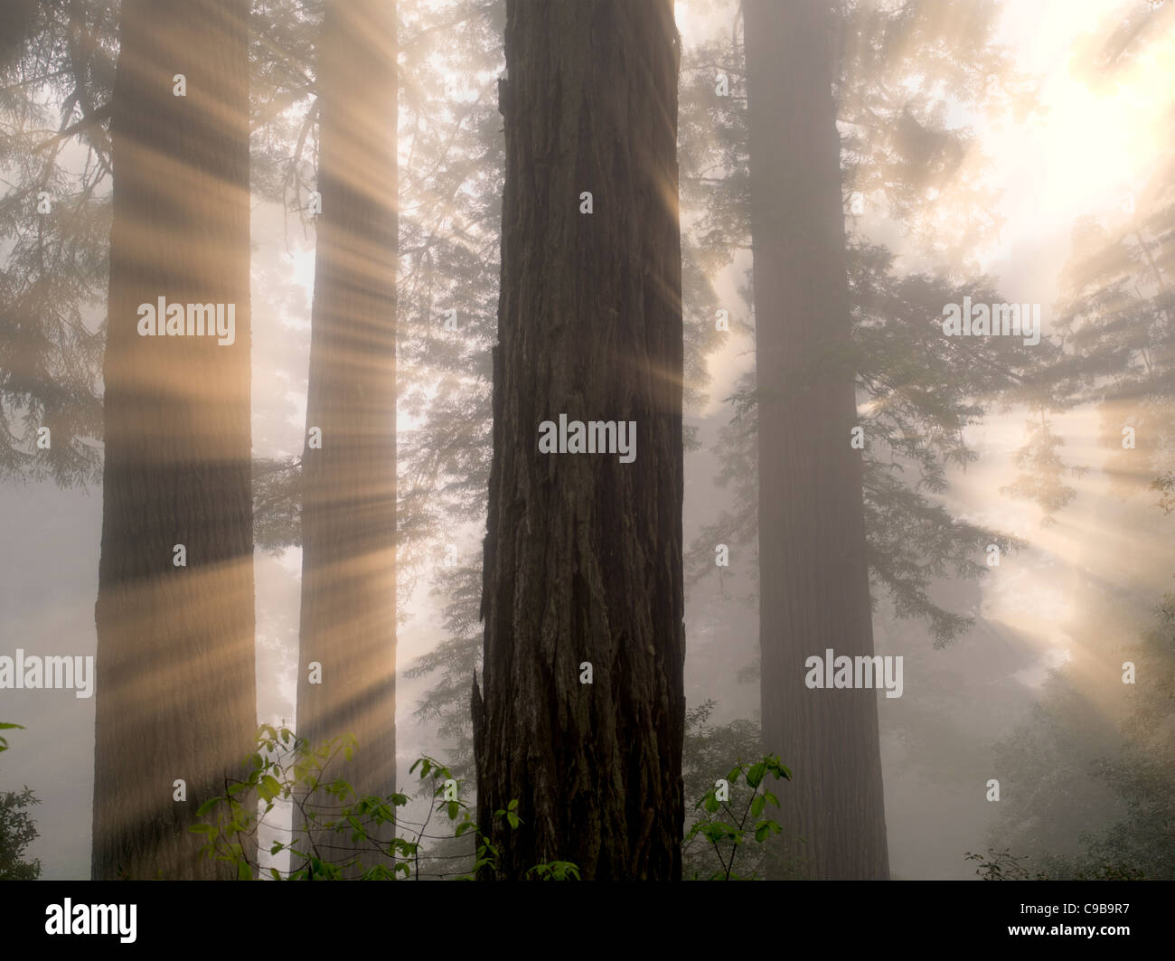 Redwood trees in Lady Bird Johnson Grove. Redwood National and State Parks, California - Stock Image