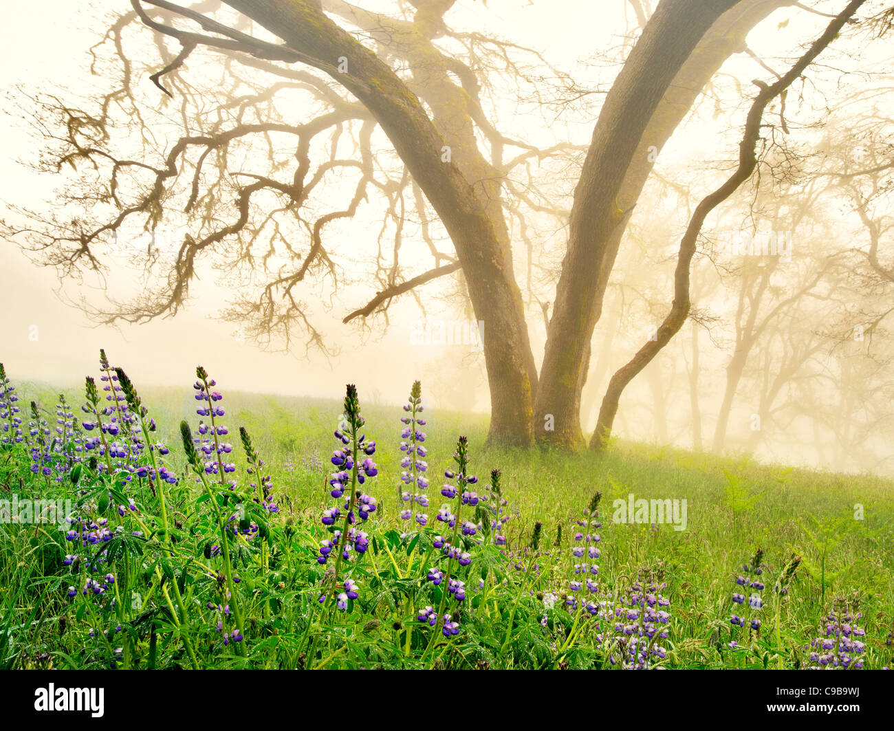 Oak tress and lupines in rain with fog. Redwood National and State Parks, California - Stock Image
