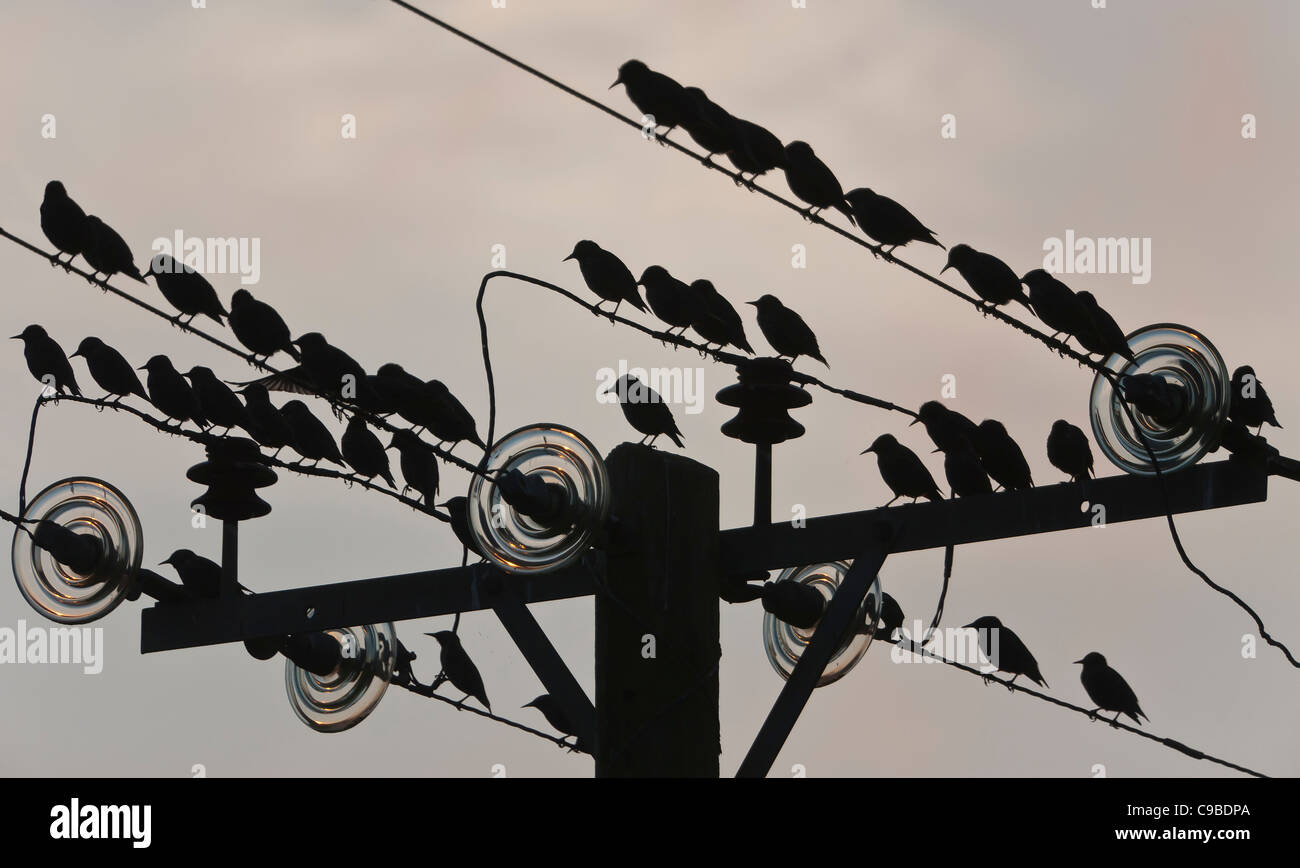 Pre=roost gathering of starlings on power lines at Meare, near Glastonbury.  Taken with the sun low in the sky. - Stock Image