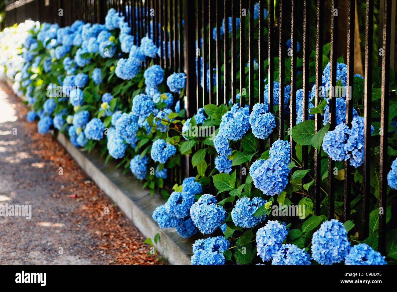 Blue Hydrangea Flowers Poking Through a Fence, Bellevue Avenue, Newport, Rhode Island - Stock Image