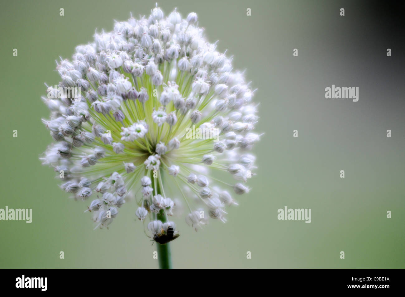 Bee in a flower - Stock Image