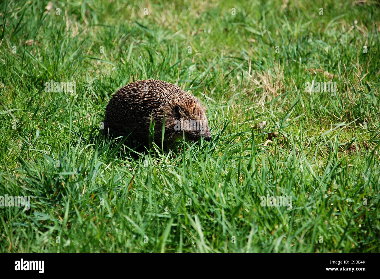 Brown hedgehog on grass - Stock Image