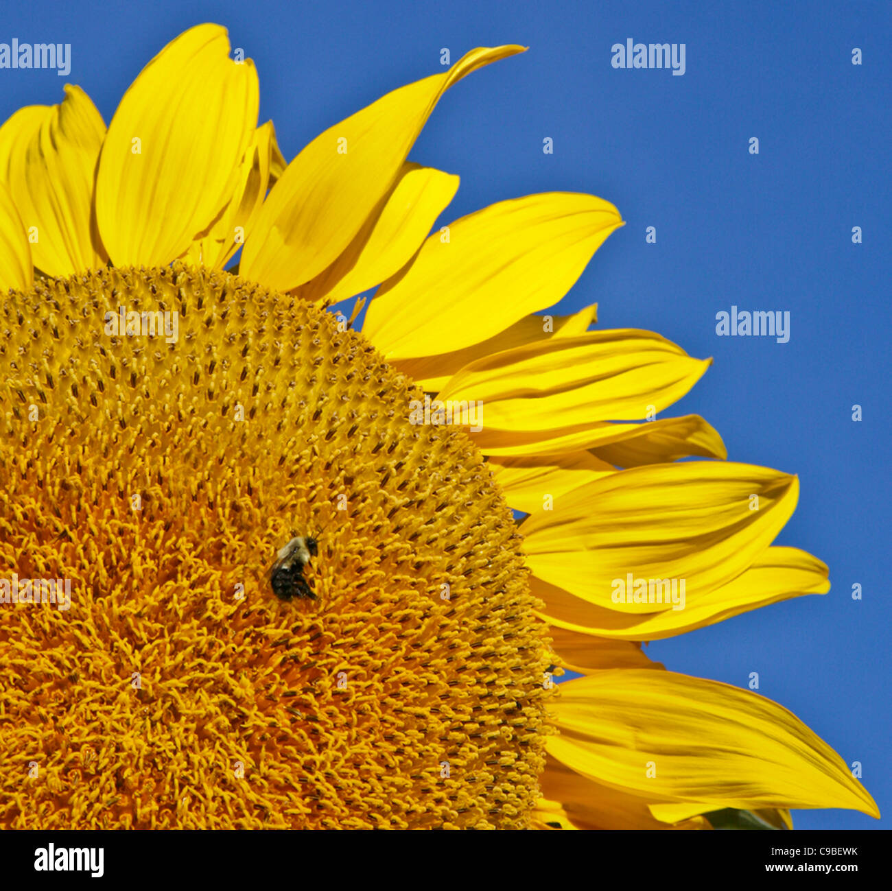 close up abstract of a honey bee flying onto a sunflower, bumblebee in flight, Lancaster County, Pennsylvania, USA, - Stock Image