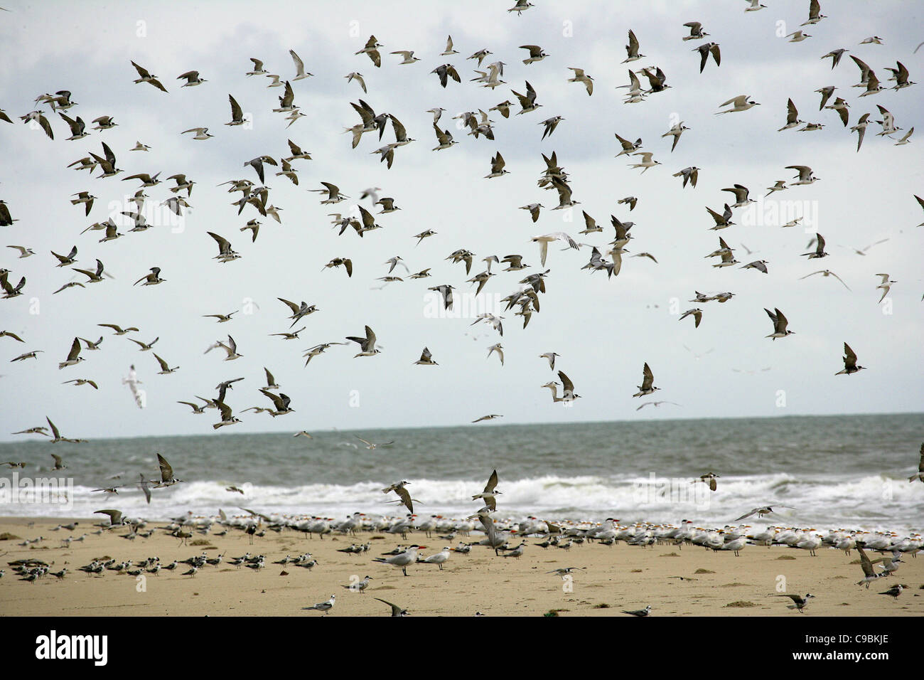 guinea, Bassigos Island, Seagulls flying on the sea shore - Stock Image