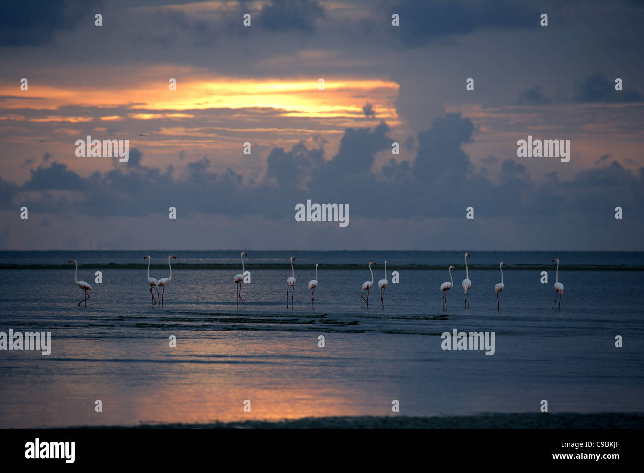 Africa, Guinea-Bissau, Flamingos in water at sunset - Stock Image