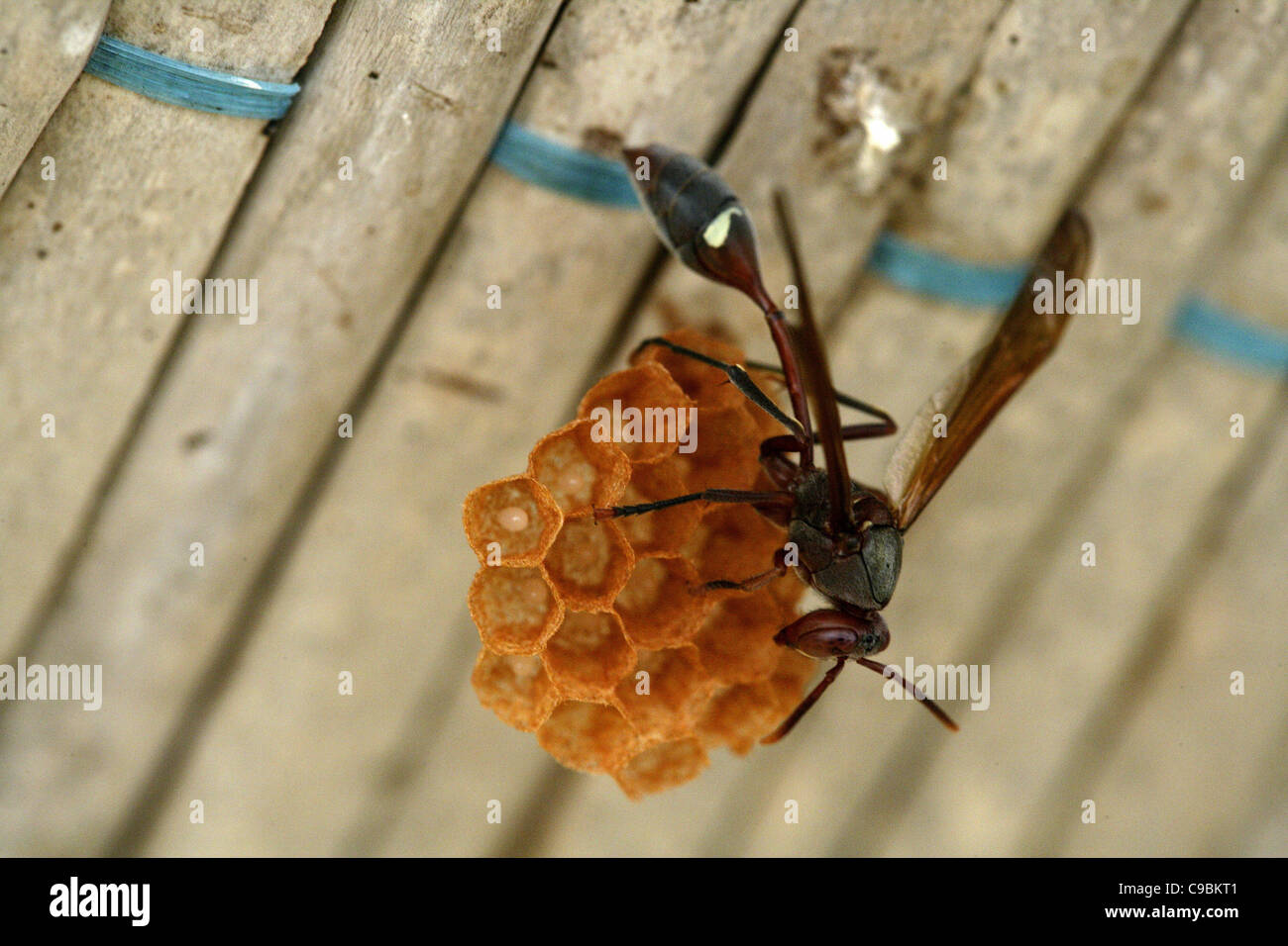 Africa, Guinea-Bissau, Wasp sitting on comb - Stock Image