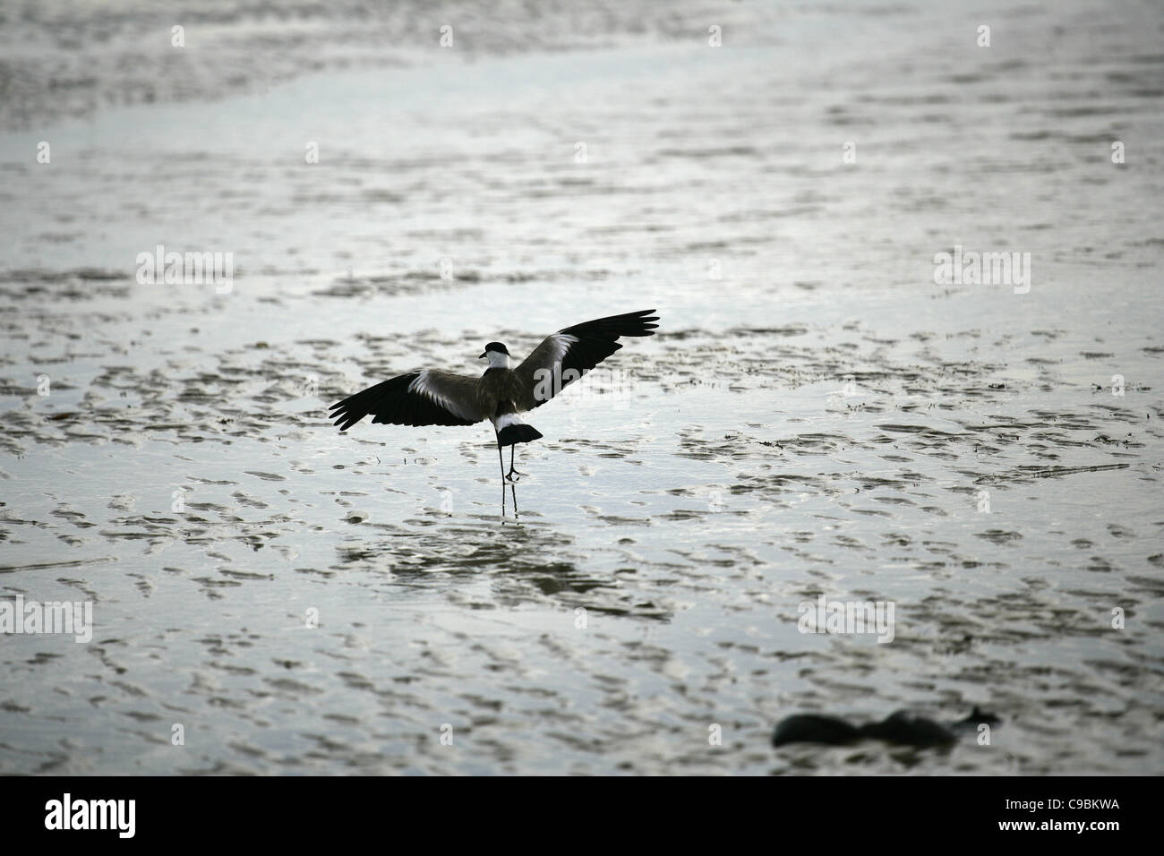 Africa, Guinea-Bissau, Bird on wet beach - Stock Image
