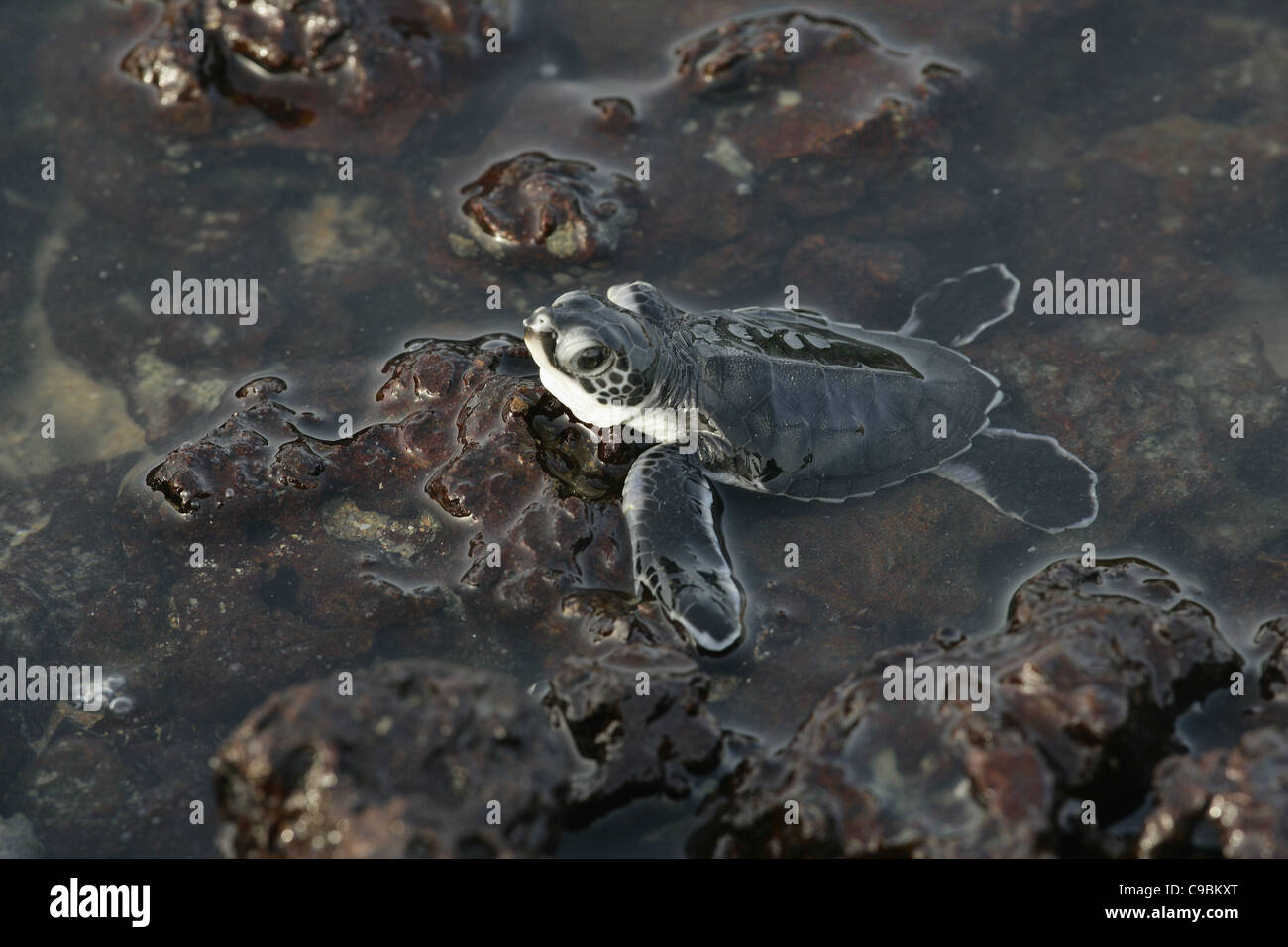 Africa, Guinea-Bissau, Baby turtle in water, close up Stock Photo