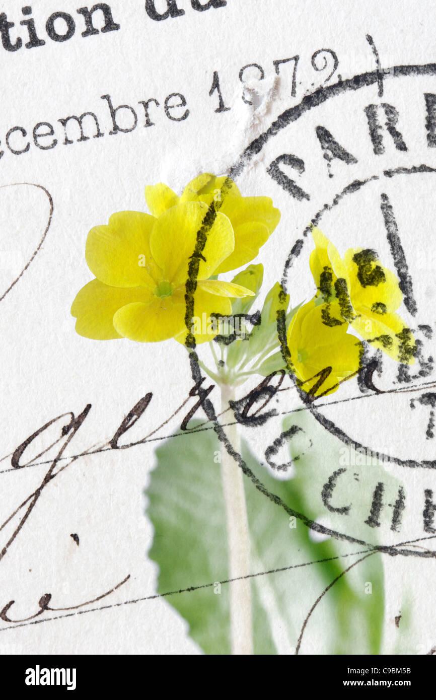 Close up of vintage postmark on primose - Stock Image