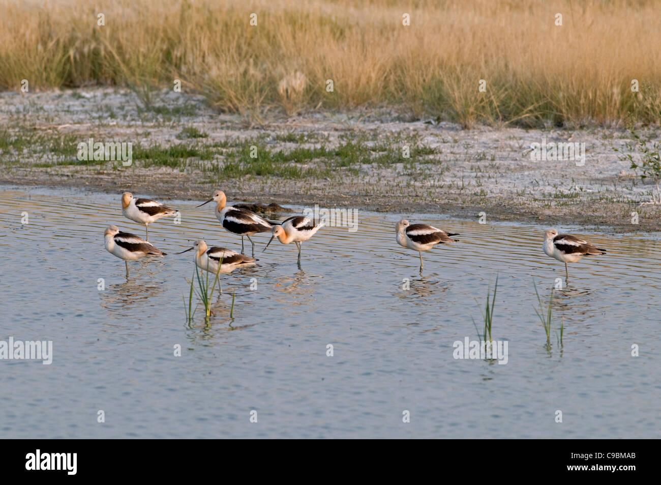 Canada Alberta Tyrrell Lake, Seven American Avocet Recurvirostra americana feeding on shore 5 standing on one leg Stock Photo