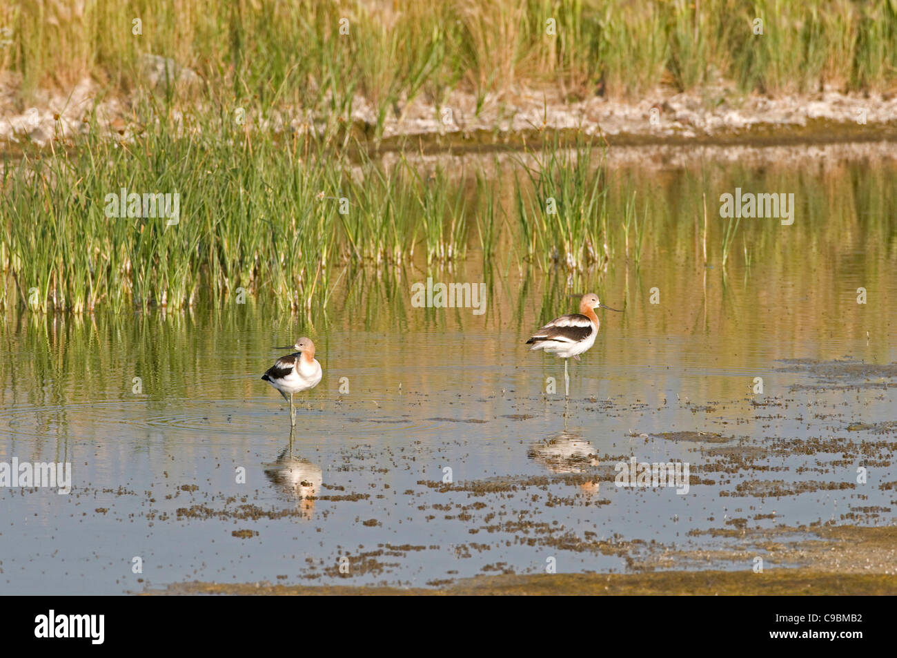 Canada, Alberta, Tyrrell Lake, American Avocet Recurvirostra americana, two birds standing on one leg in shallow Stock Photo