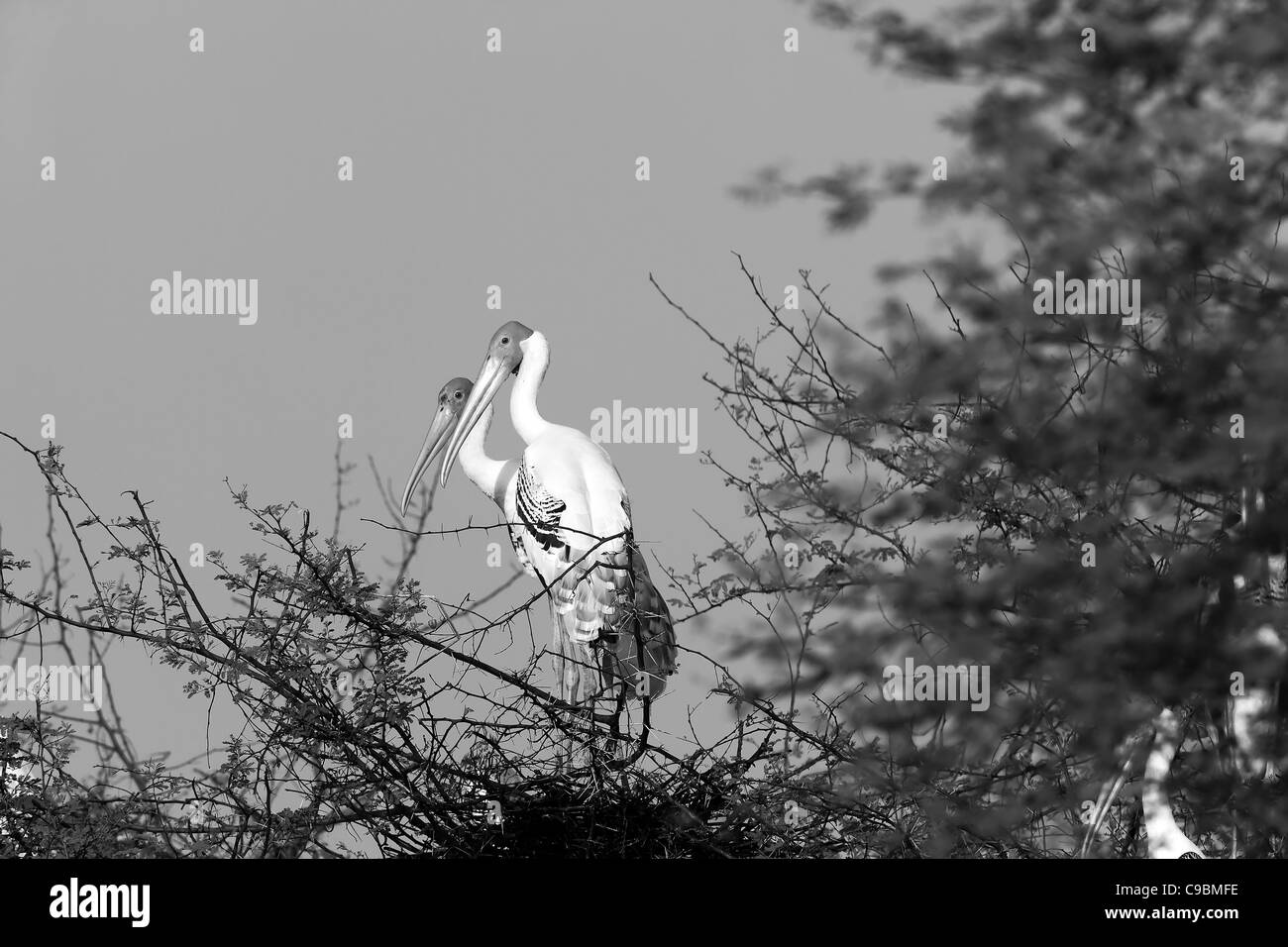 Painted Stork (Mycteria leucocephala) Keoladep Ghana National Park Bird Sanctuary Bharatpur Rajasthan India Colorful - Stock Image