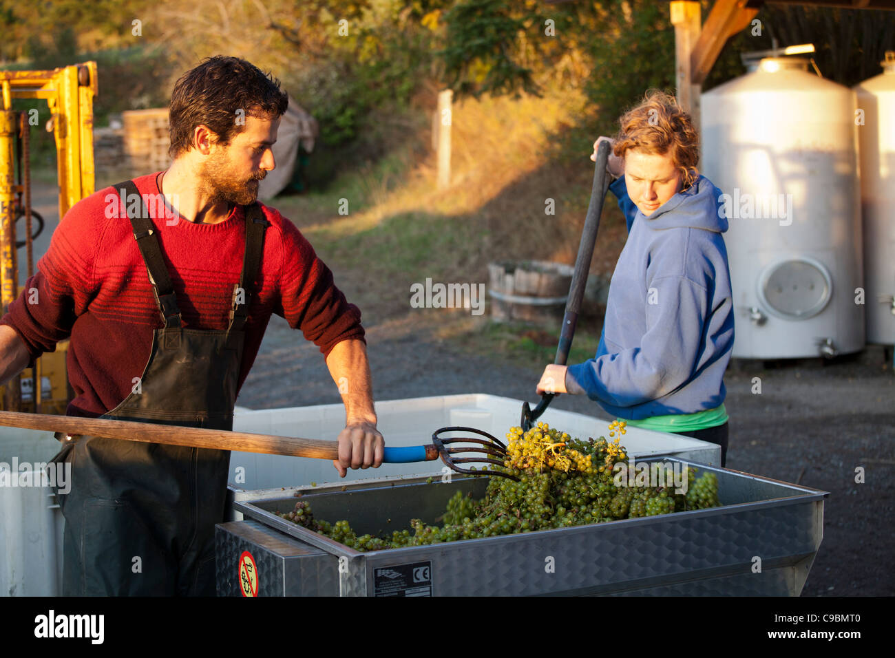 Placing Madeleine Angevine grapes in crusher, first step in creating wine. - Stock Image