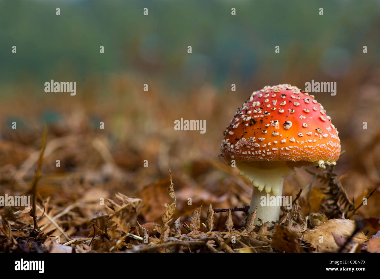Amanita muscaria, commonly known as the fly agaric or fly Amanita Stock Photo