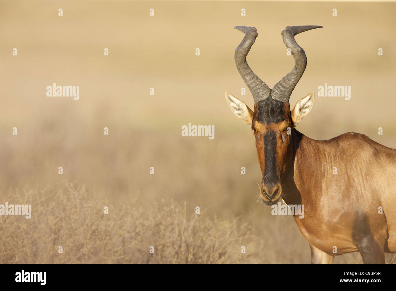 A Red Hartebeest looking at the camera, Kgalagadi Transfrontier Park, Northern Cape Province, South Africa Stock Photo
