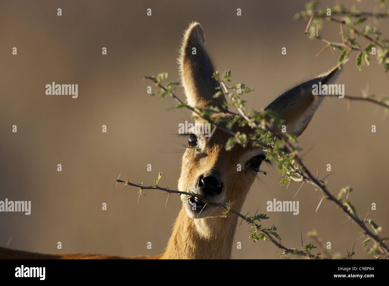 A Steenbok looking camera while it eats leaves off tree Kgalagadi Transfrontier Park Northern Cape Province South - Stock Image