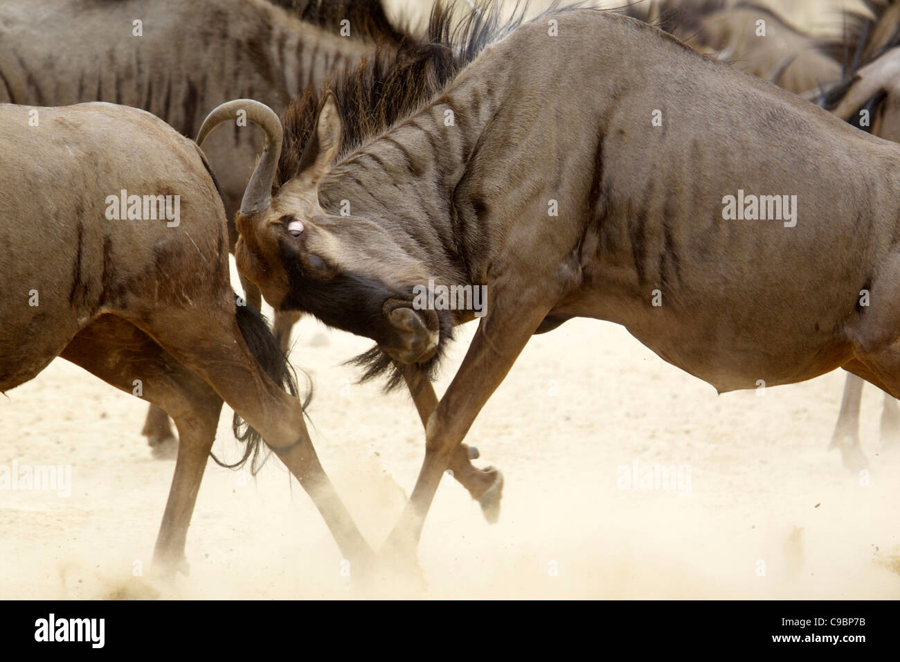 A Blue Wildebeest head butting another, Kgalagadi Transfrontier Park, Northern Cape Province, South Africa - Stock Image