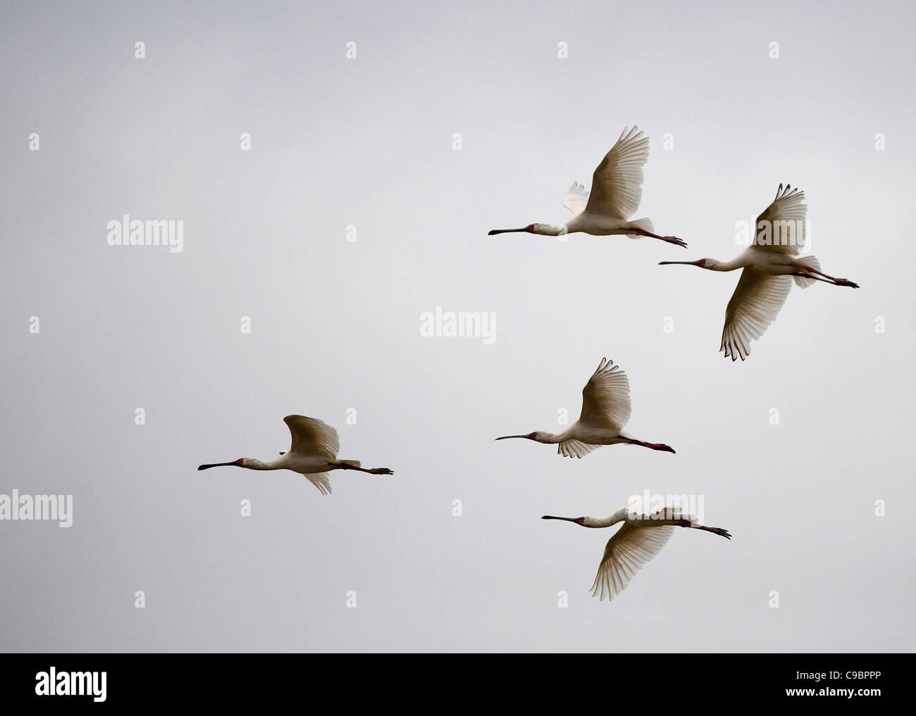 Flock of birds flying against sky, Mana Pools National Park, Mashonaland North Province, Zimbabwe Stock Photo