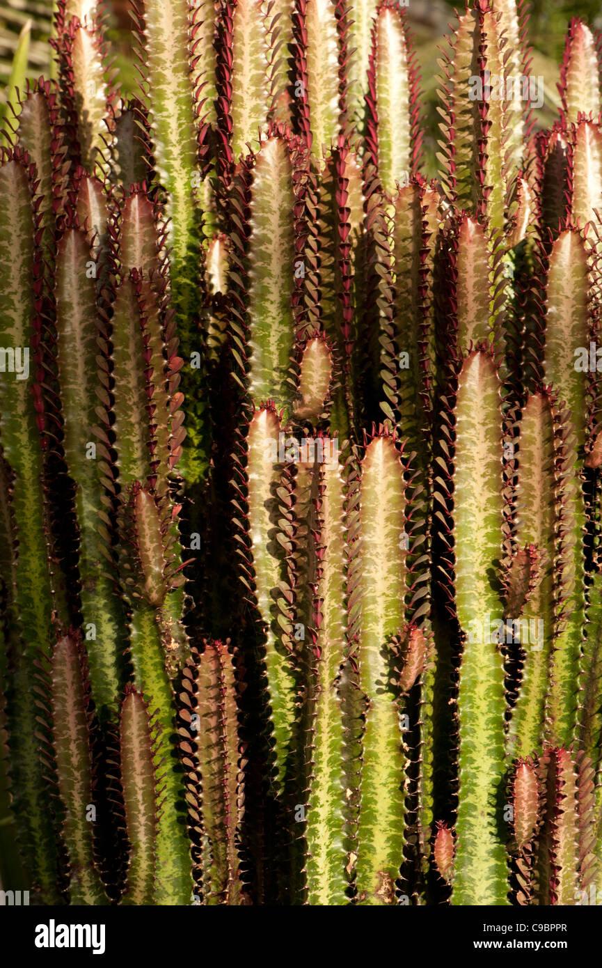 Euphorbia species growing in a glass house, Surrey, UK - Stock Image