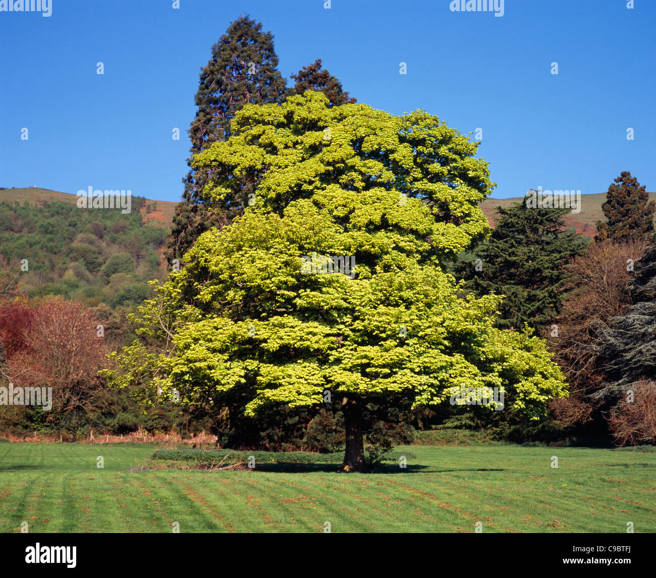 England Worcestershire Trees Sycamore Acer Pseudoplatanus Stock