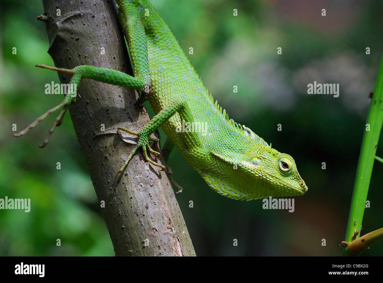 Green Tree Dragon Green Crested Lizard Borneo Bloodsucker Stock