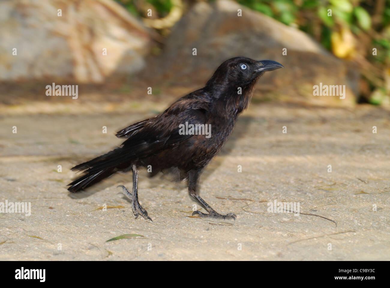 Australian Raven Corvus coronoides walking Australian National Botanic - Stock Image