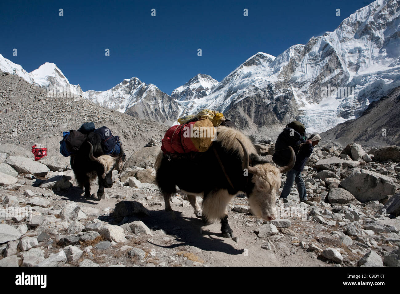 October 2009 Everest region - en route Labouche to Gorek Shep Yaks - Stock Image