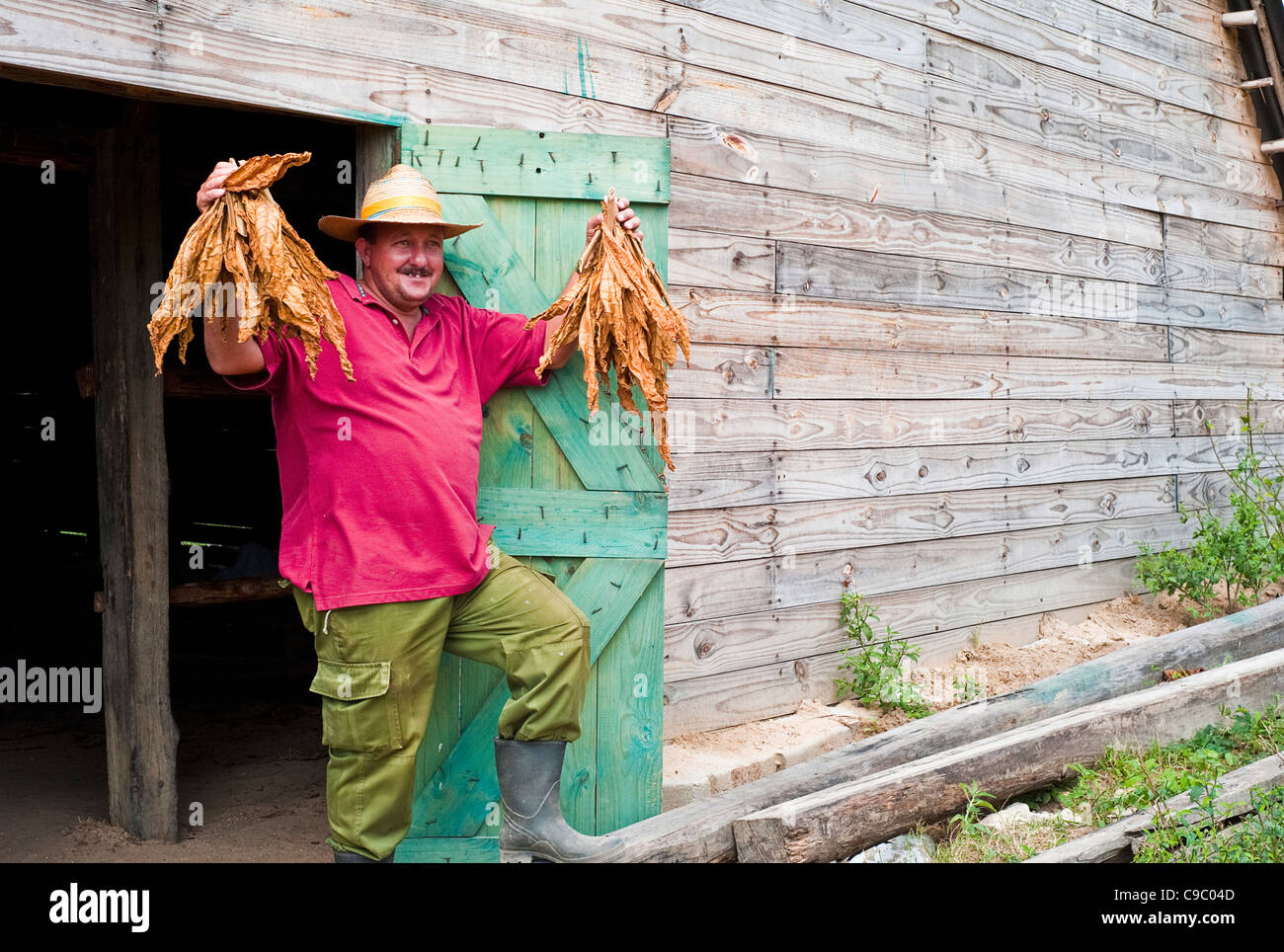 Cuba, Caribbean, Central, Tobacco Farmer holding dried leaves at door to drying shed on farm. - Stock Image