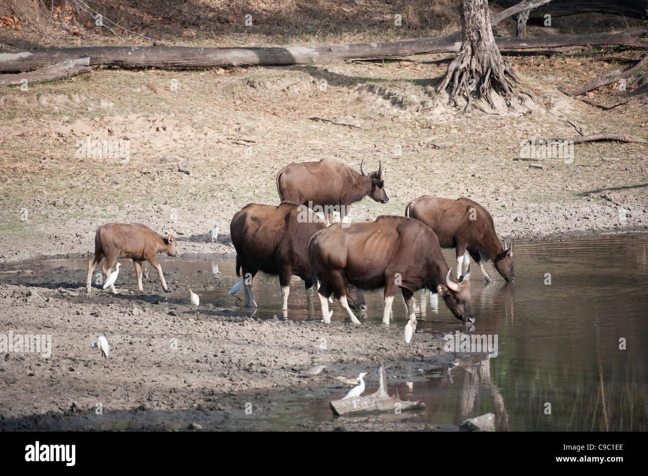 Gaur Bos gaurus Kanha national park India - Stock Image