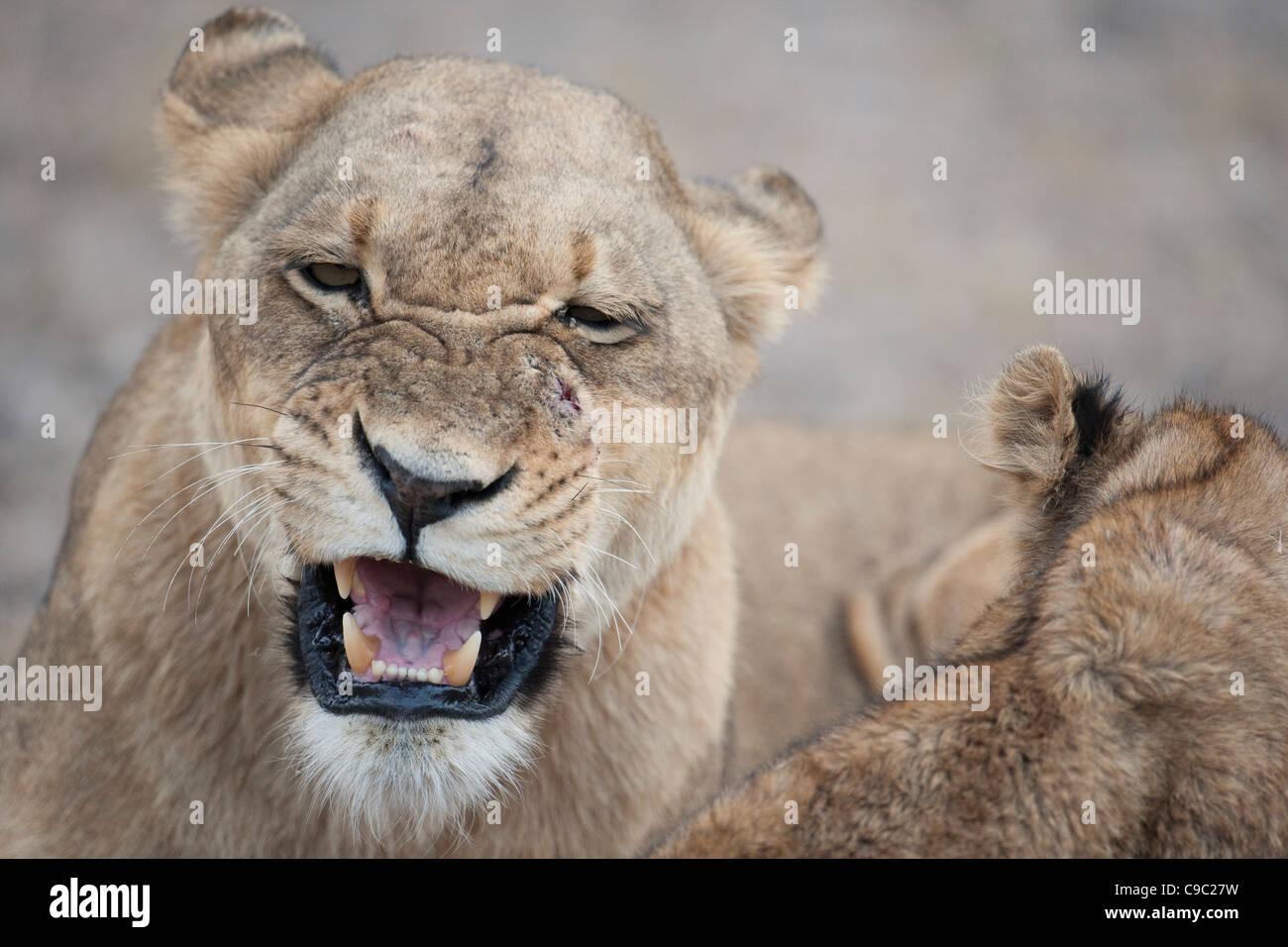 Lioness snarling at cub lion Panthera leo Botswana - Stock Image