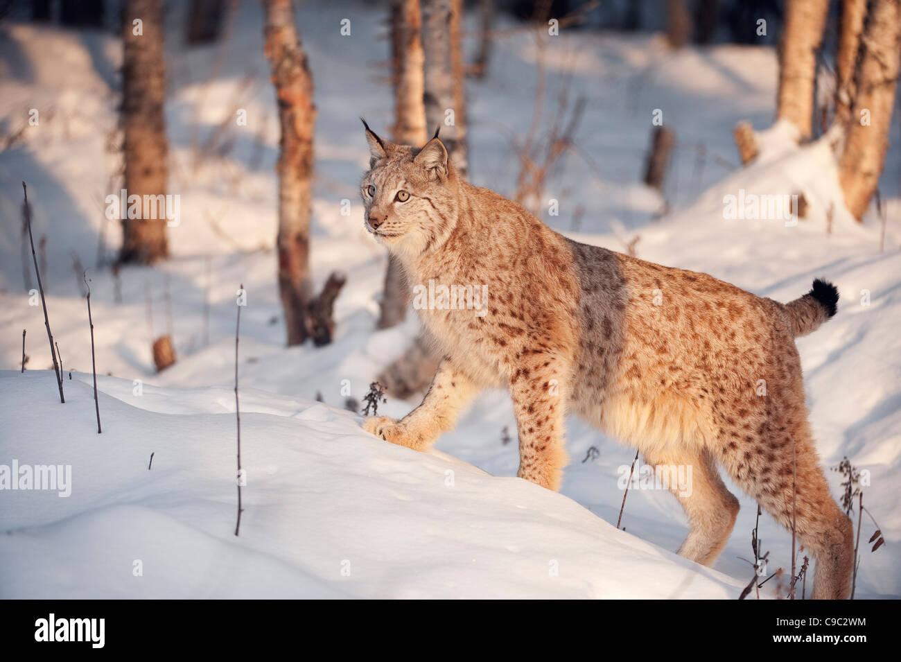 Lynx Norway - Stock Image