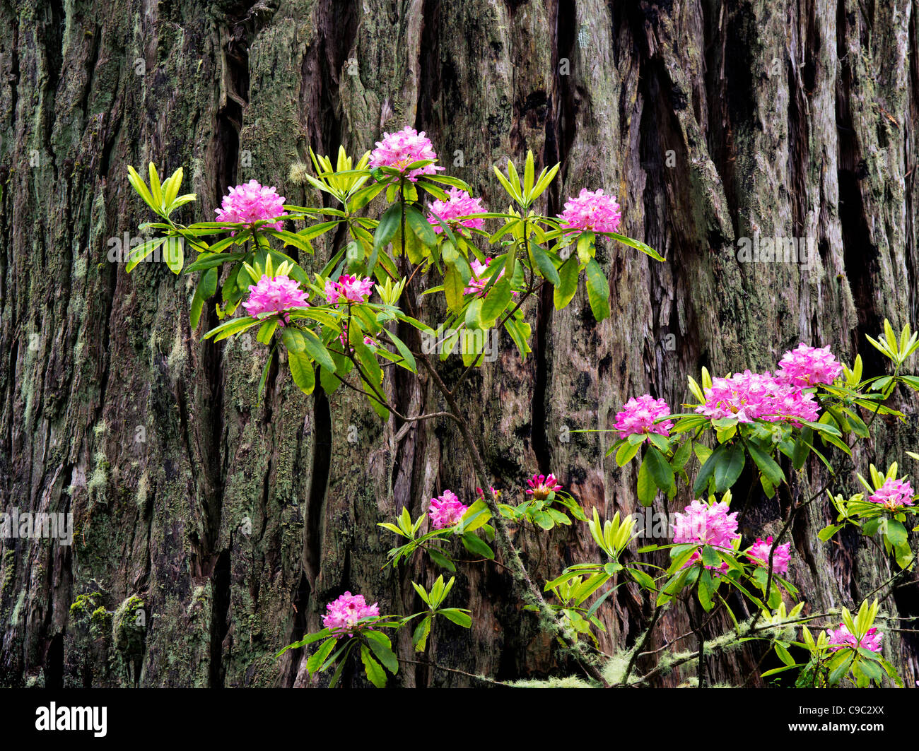 Blooming Rhododendrons and redwood tree. Redwood National and State Parks, California - Stock Image