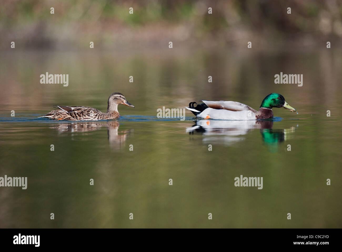 Mallard ducks UK - Stock Image