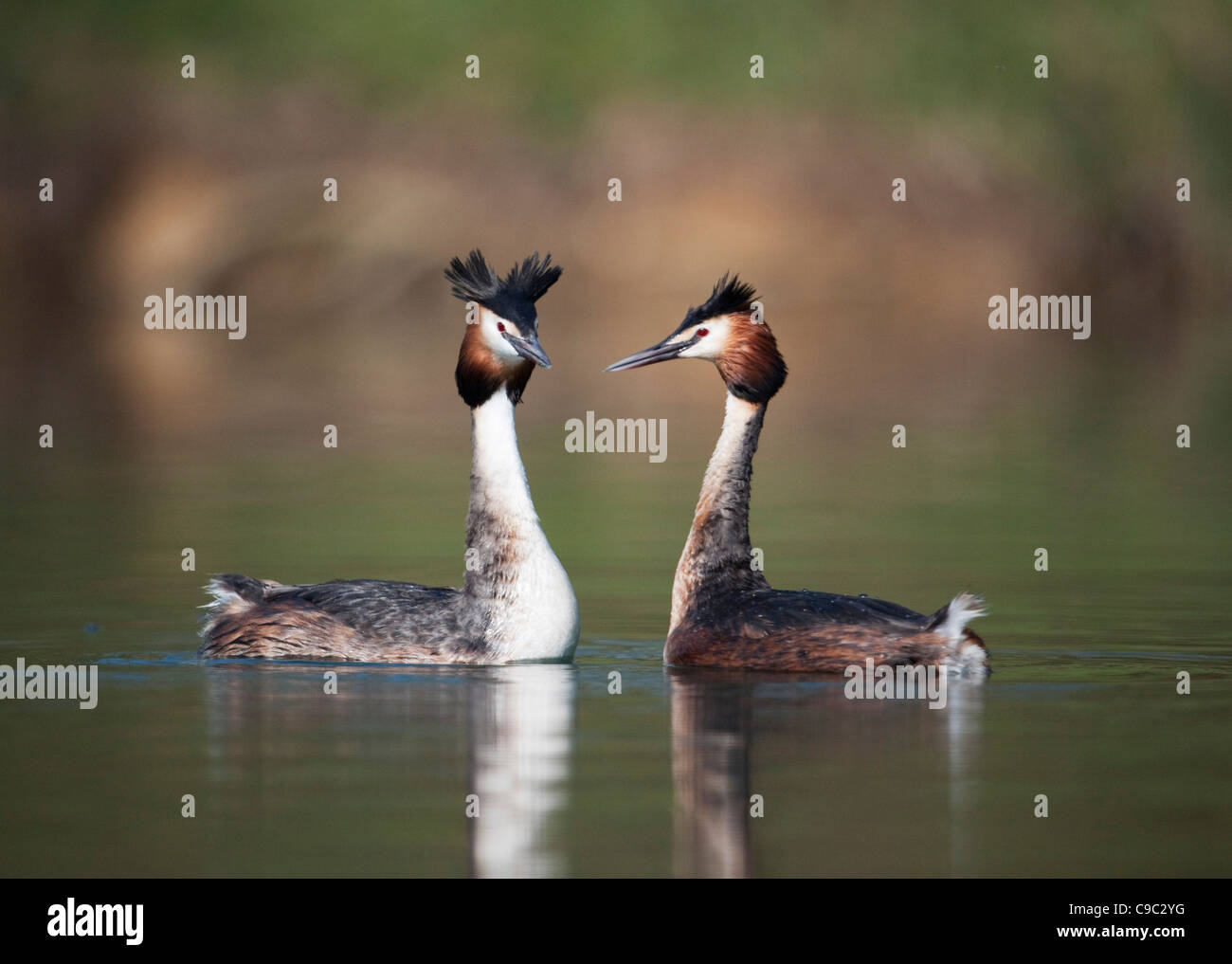 Great crested grebes performing greeting display UK - Stock Image