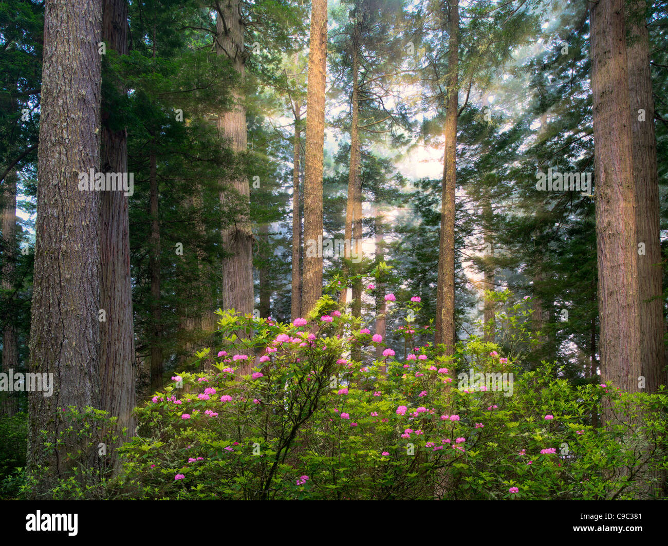 Redwood trees and blooming rhododendrons. Redwood National Park, California Light rays have been added - Stock Image