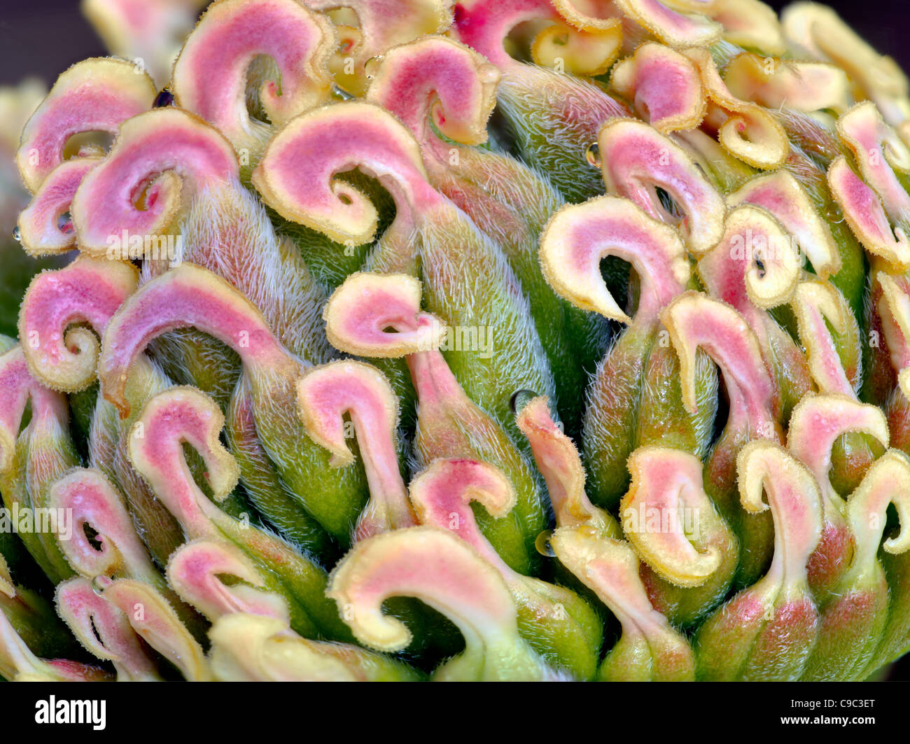Extreme close up of Pistils from peony flower - Stock Image