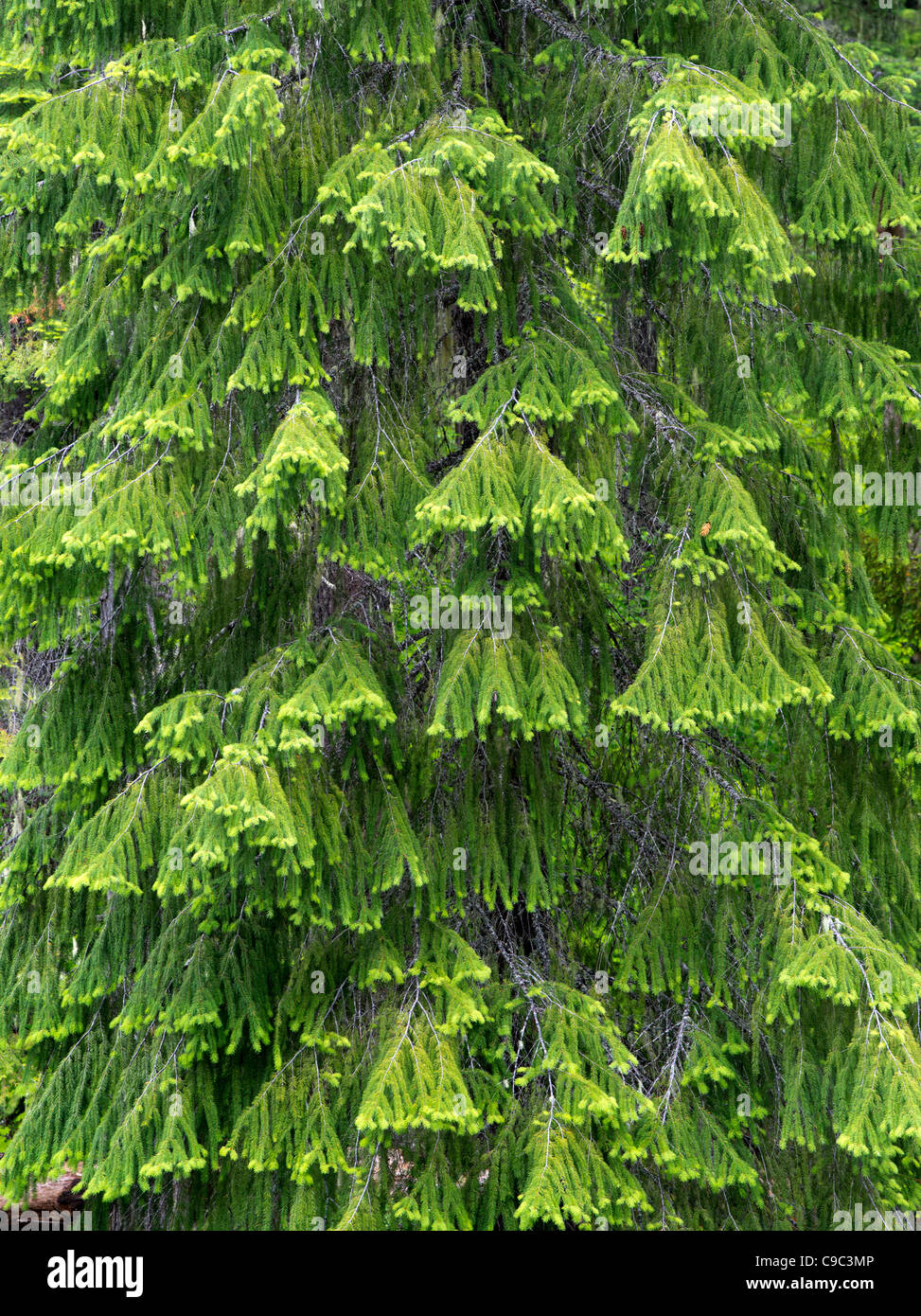New spring growth on Douglas Fir tree. Rogue River National Forest, Oregon - Stock Image