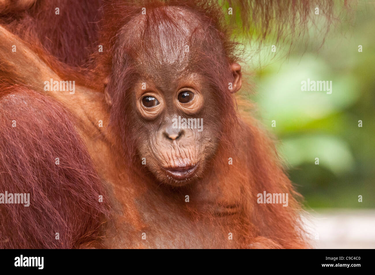Infant Bornean orangutan with mother (just out of frame). Horizontal format with copyspace. - Stock Image