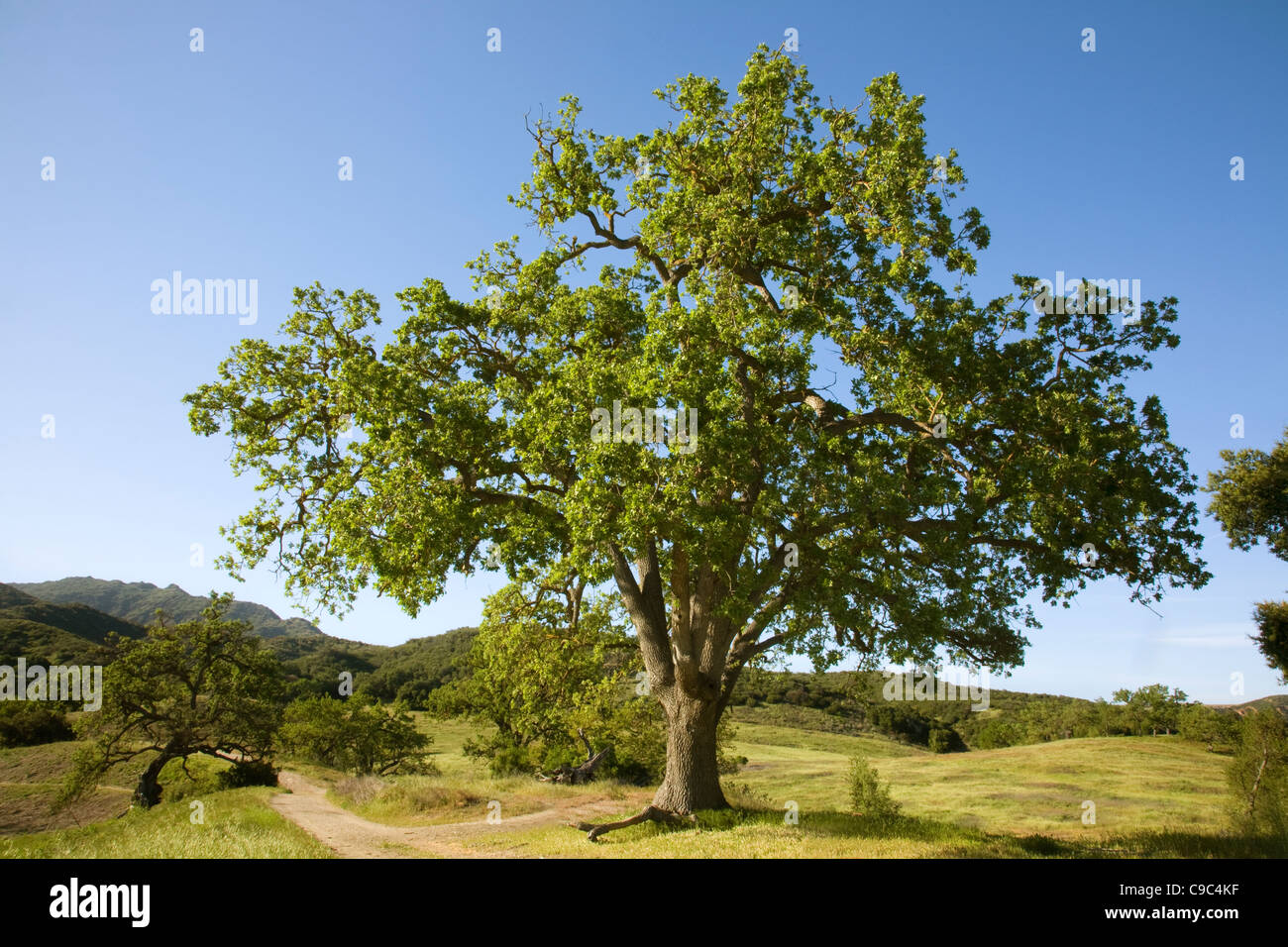 CALIFORNIA - Oak tree at Paramount Ranch in the Santa Monica Mountains National Recreation Area. - Stock Image