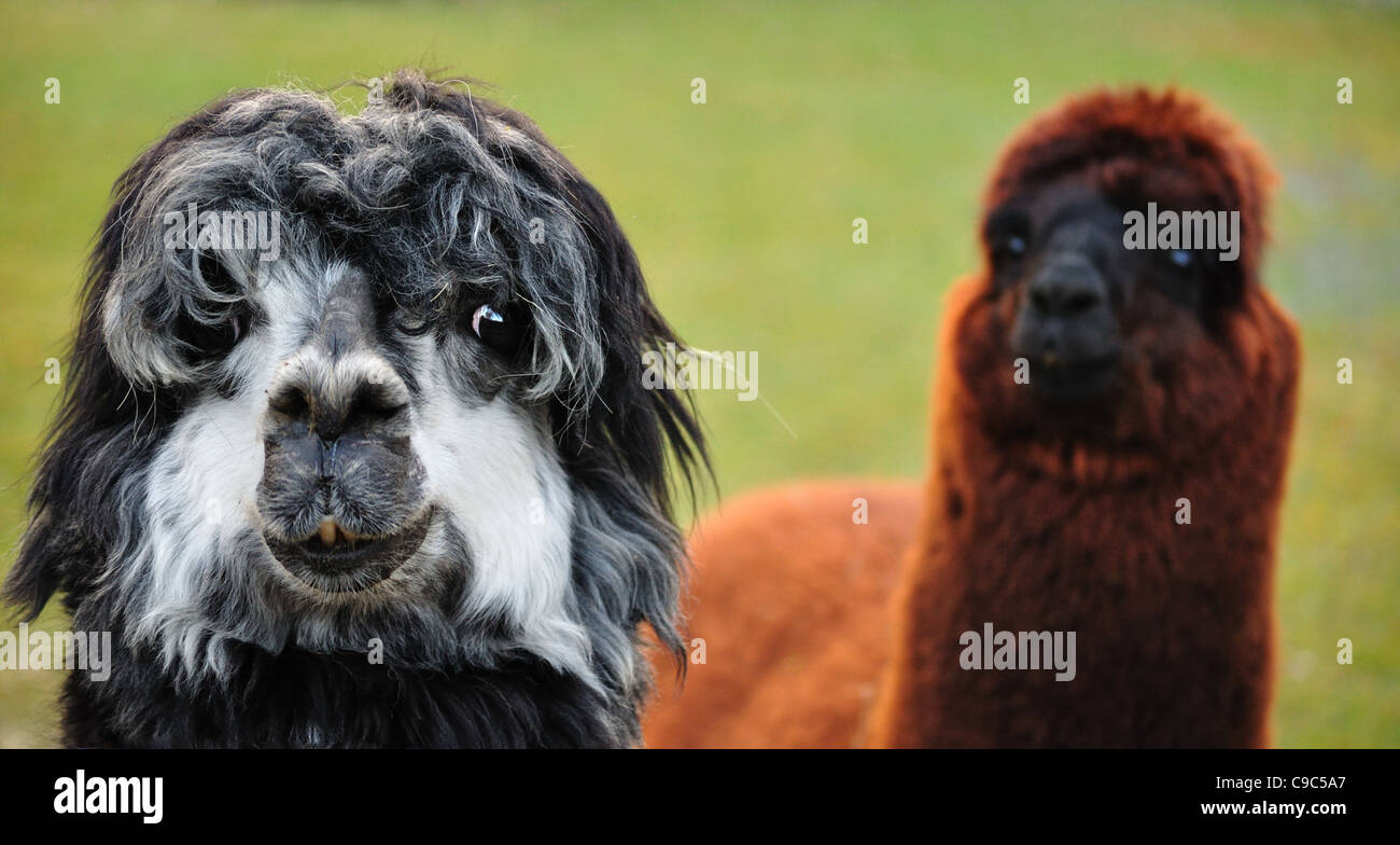 Close-up view of two alpacas - Stock Image