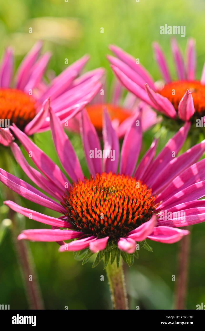 Purple cone flower (Echinacea purpurea 'Excalibur') - Stock Image