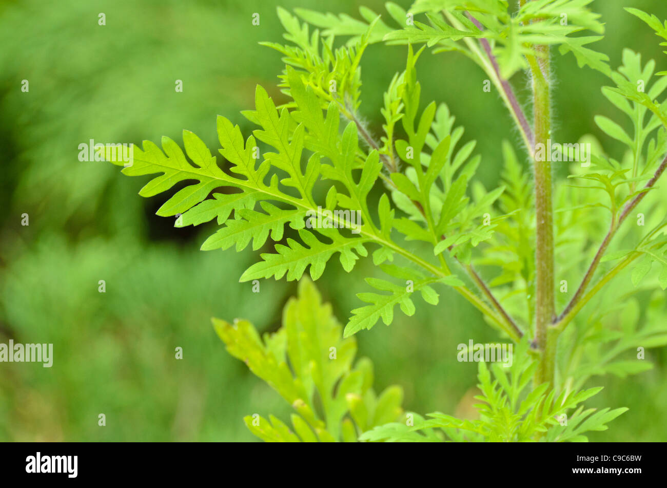 Common ragweed (Ambrosia artemisiifolia) Stock Photo