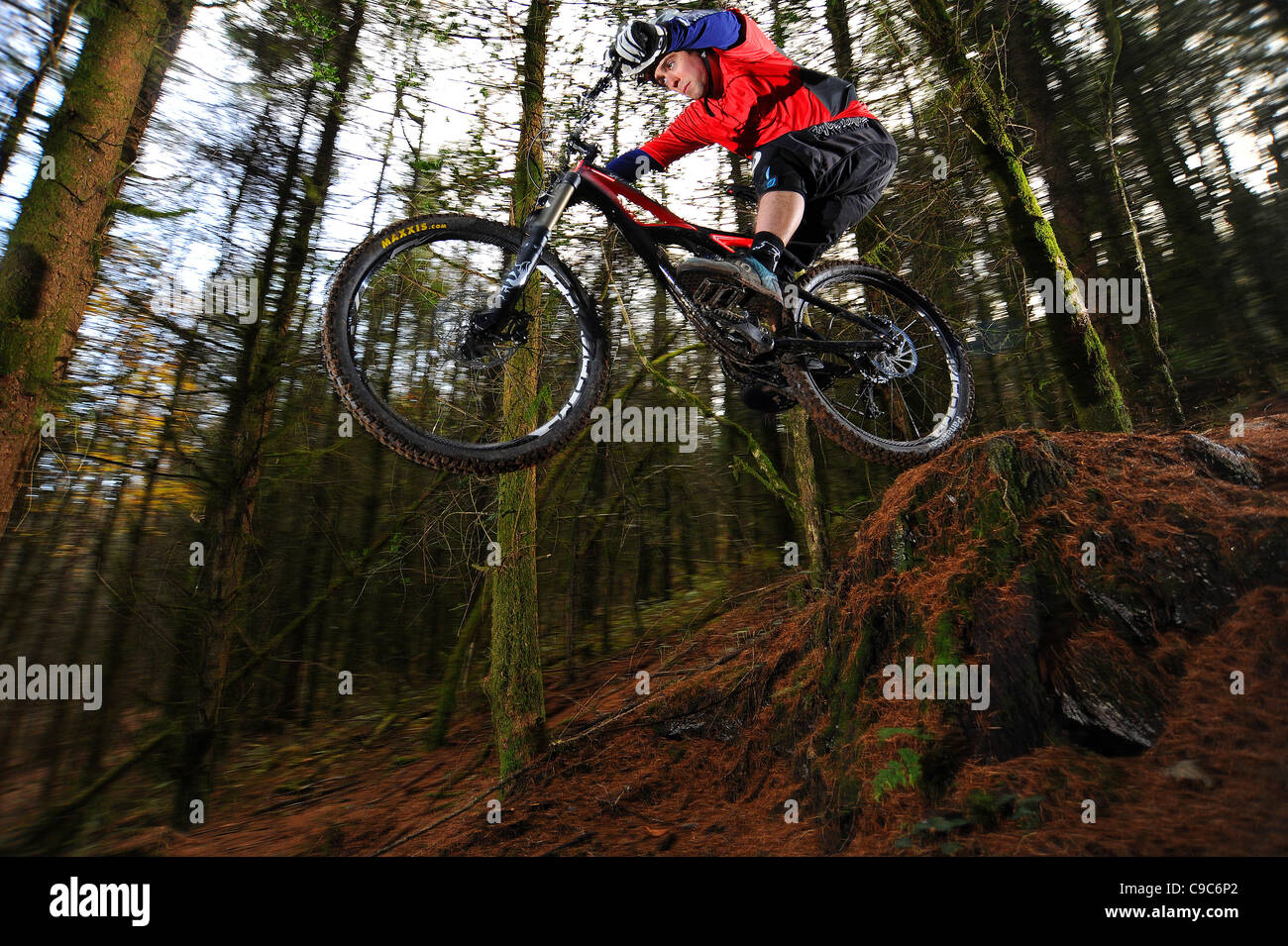 e7ad72b6925 A mountain biker jumps a drop on a forest trail in South Wales. - Stock