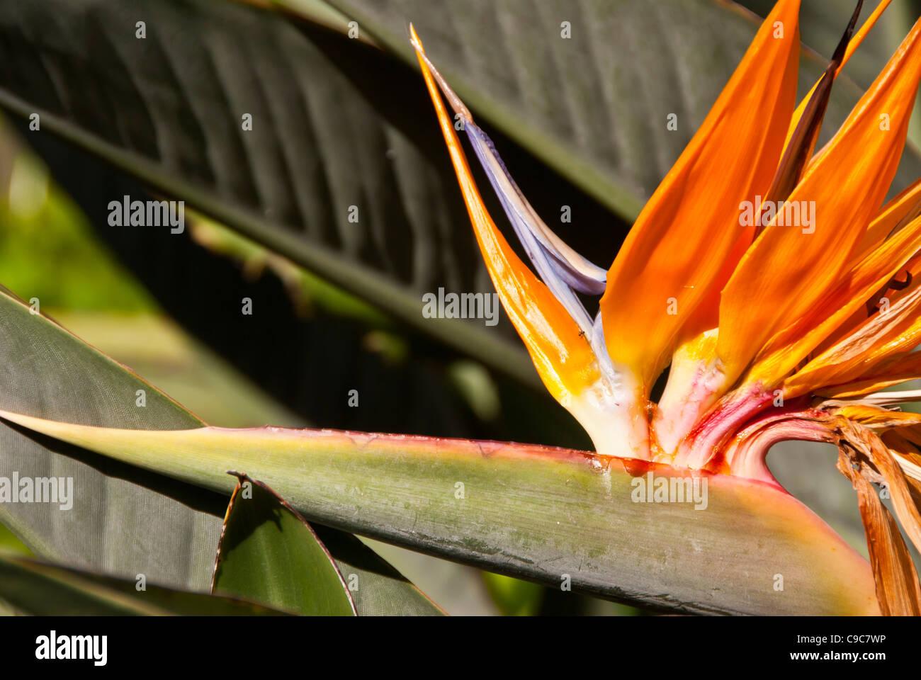Orange tropical flower lobster claw Heliconia Hawaii - Stock Image