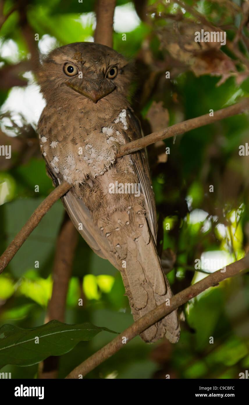 Sri Lanka Frogmouth  or  Ceylon Frogmouth - Stock Image