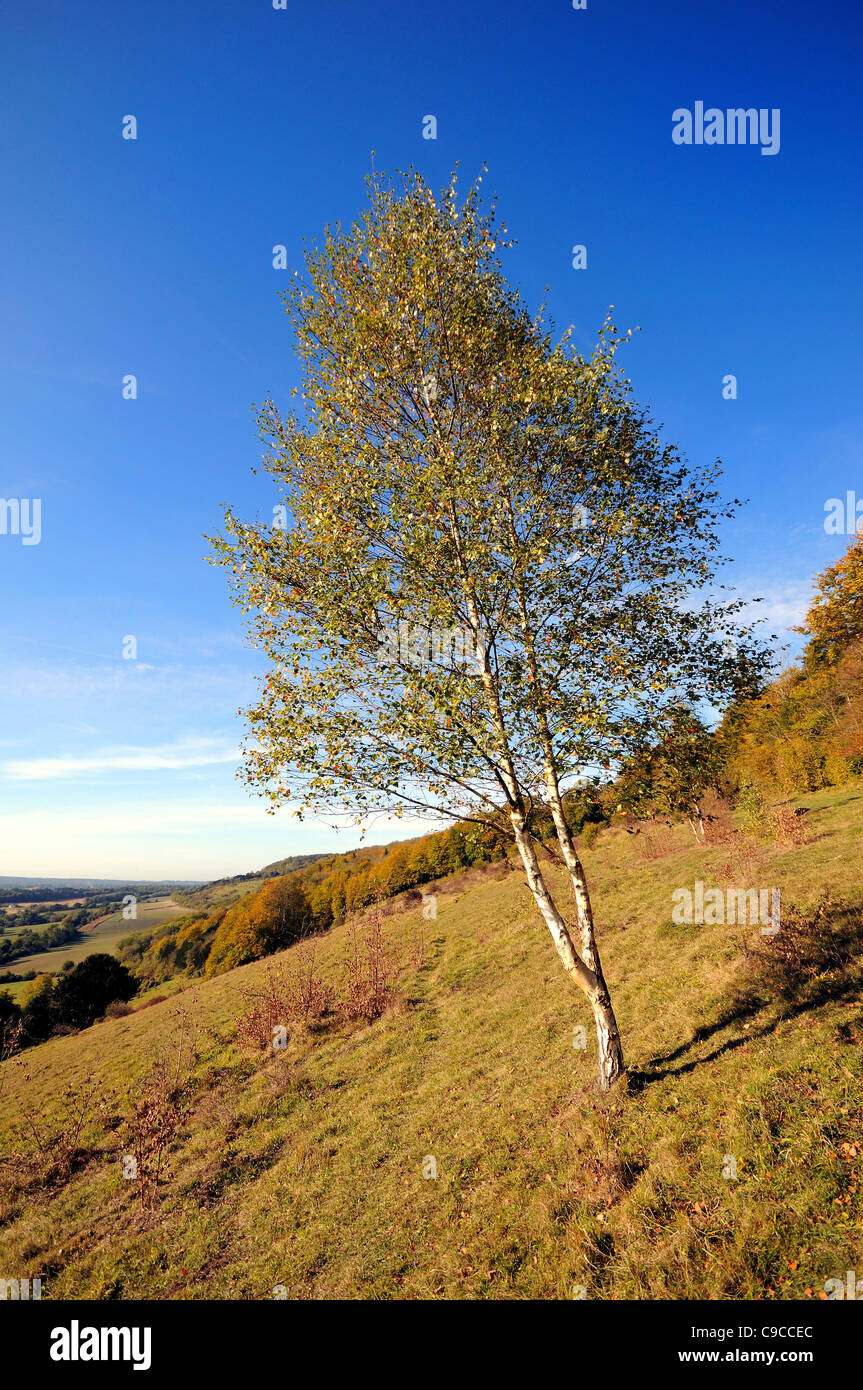 Silver Birch tree on the North Downs at Ranmore Common near Dorking - Stock Image